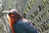 Chestnut_breasted Malchoa San Diego Zoo