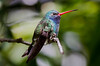 Broad-billed Hummingbird - male
