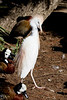 Cattle Egret, San Diego Zoo