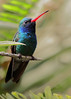 Broad-billed Hummingbird, San Diego Zoo