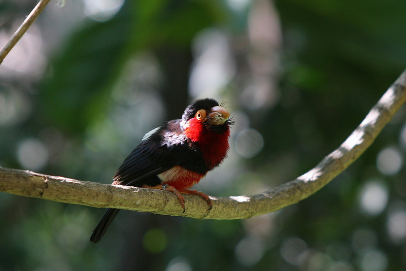Bearded Barbet, San Diego Zoo