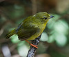 Golden-headed  Manakin , Female