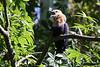 Blue bellied Roller, San Diego Zoo