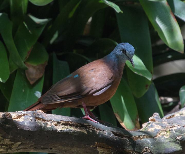 Blue-headed Dove