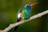 Broad- billed Hummingbird, San Diego Zoo