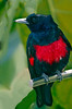 Black and Crimson Oriole