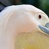 Pelican face