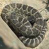 Diamond Back Rattle Snake