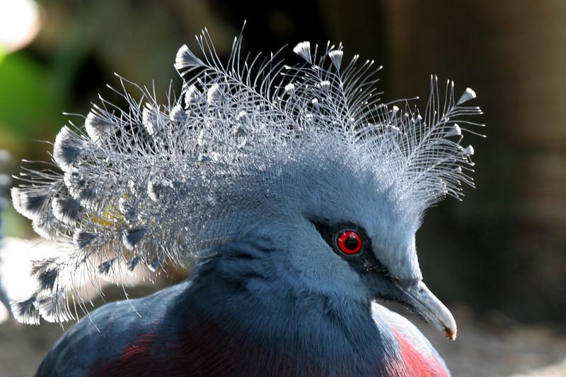 Blue Crowned_Pegion, San Diego Zoo