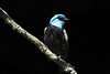 Eastern blue-necked Tanager, San Diego Zoo