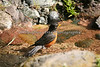 An American Robin comes down for a dip in the stream.