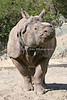 "Greater One Horned Rhinoceros, ""Gauhati"""