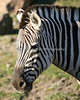 Grant's Zebra.  What a beautifully marked animal.