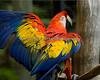 """Scarlet"", a Scarlet Macaw"