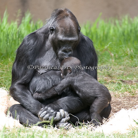 And Hasani gets a kiss from Bawang.  I never knew gorillas kissed their babies, but the proof is in the picture!