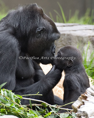 Nneka and Hasani.  (I was thumbing through the new ZooBorns book yesterday, 12/19/2010, and what did I see?  This picture!  Too Cool!  Thanks SFZoo!  In 2012, this photo was also published on the cover of San Francisco Valley Yellow Pages - 500,000 copies printed!  Whoohooo!