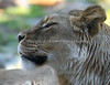 African Lioness.  Count the whiskers on the kitty.