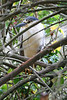 Black Crowned Night Heron - a frequent visitor at the SF Zoo