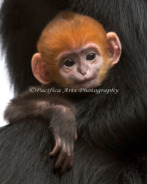 """Welcome to the world little girl!  (Francois' Langur baby, 3 days old).  The Zoo has named her """"Romo""""."""