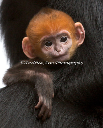 "Welcome to the world little girl!  (Francois' Langur baby, 3 days old).  The Zoo has named her ""Romo""."