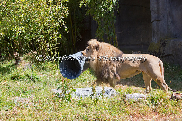 Jahari, an African Lion, carries his garbage can around the exhibit.  It appears he plays with this toy often, from the looks of it.