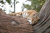 Inti, the Bobcat, up in his tree.  Doesn't he look comfortable?