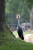 East African Crowned Crane in the African Savannah exhibit