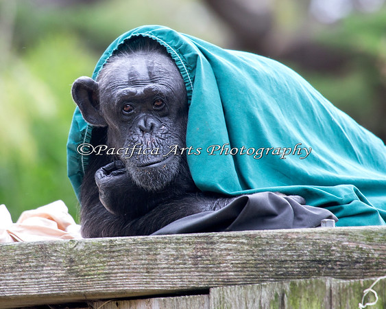 Tallulah has chosen a cyan cape to go with her pink throw and charcoal sheet. Simply stunning! (Chimpanzee)