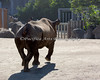 This new Black Rhinoceros is pretty light on his toes! (SFZoo)
