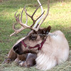 One of the four Reindeer, taking it easy.