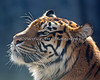 Headstudy of Leanne, a female Sumatran Tiger