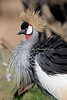 All feathers at attention! (East African Crowned Crane)