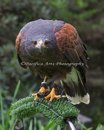 """Is that a hawk I see in that lens?!""  (Frank, a Harris Hawk)"