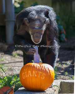 Maggie finds a sock in her pumpkin - and she really liked that sock too!  She carried it around with her.  There were also treats under the sock. (Chimpanzee)