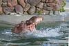 Brian Wilson making waves in his pool. (Nile Hippopotamus)