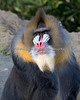 Jesse the Mandrill