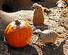 "Meerkats check out the pumpkin filled with treats during ""Boo at the Zoo"""