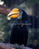 This new Wrinkled Hornbill has just arrived.  You can see her across from the Chimpanzees.