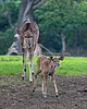 Here's the new baby Greater Kudu - and it's a girl!  Mom keeps a good eye on it.