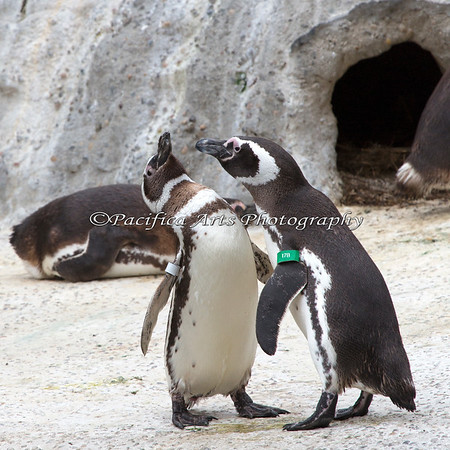 """Whoa - Fish breath!"" (Magellanic Penguins)"