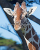 Reticulated Giraffe - female