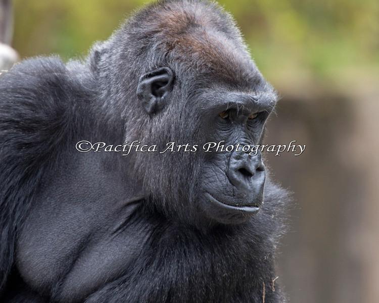 Nneka, a female Gorilla
