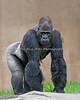 Oscar Jonesy, a Silverback Gorilla