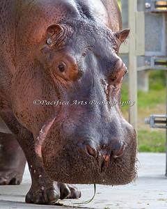 """Brian Wilson"" up close. (Nile Hippopotamus)"