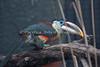 Curl-crested Aracari.  Such a pretty little bird!