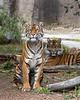 Sumatran Tigers - Leanne & Jillian.  Jillian relaxes while mom keeps watch.