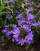 A pretty flower at Conservation Corner  (Scaevola, Bombay Dark Blue)