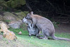 """Hold still Junior!""  (Bennett's Wallaby)"