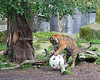 Jillian plays with one of the balls in her yard.  She managed to get it dislodged from the stick, picked it up in her mouth, and dropped over the side, into the moat.  (Sumatran Tiger)