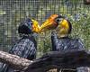 A pair of Wrinkled Hornbills